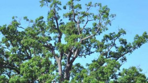 Heritage Tree Preservation – A Success Story